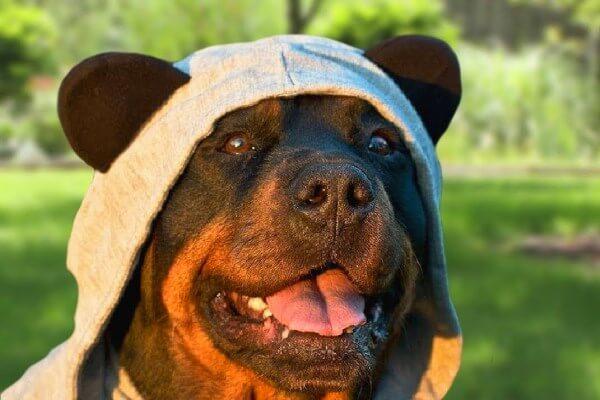 cómo es el comportamiento del rottweiler