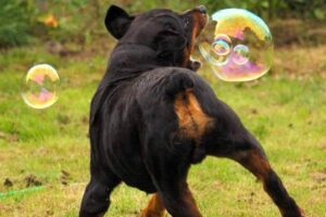 rottweiler colores