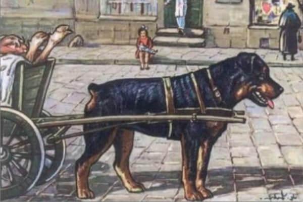 """cuál es el origen del rottweiler - Antiguamente el rottweiler era conocido como """"perro de los carniceros"""""""