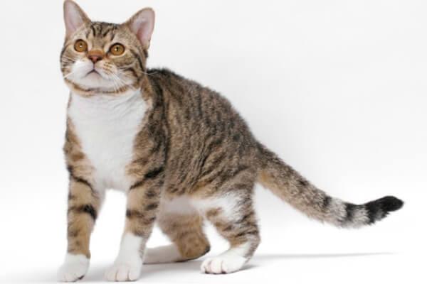 raza de gato american wirehair
