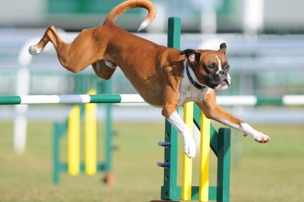 cómo adiestrar a un perro bóxer
