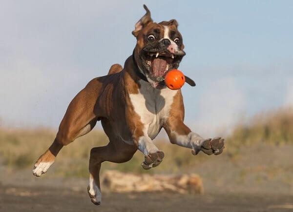cómo se comporta el perro bóxer