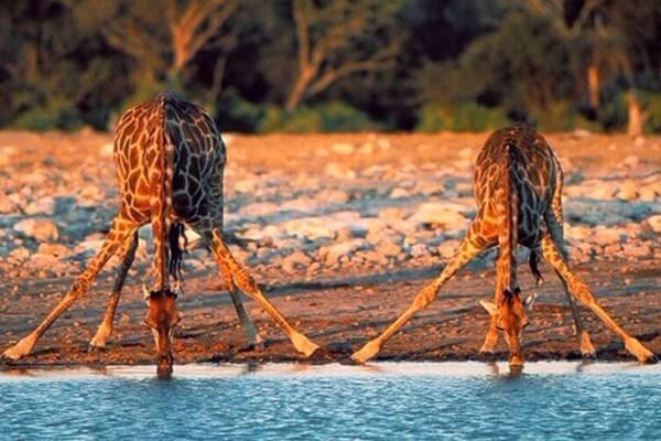 cómo lo hacen las jirafas para beber