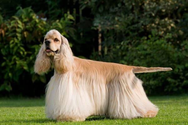 cuidados específicos raza de perro cocker spaniel americano