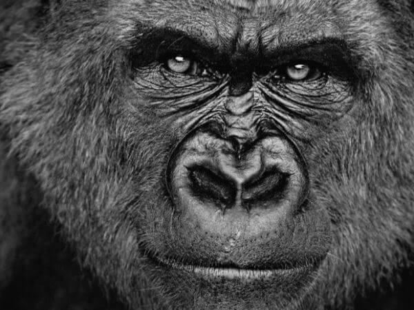 cuál es el gorila