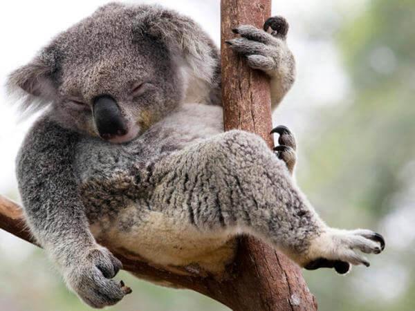 ¿Qué tipo de especie es el koala?