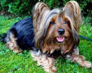 anatomia yorkshire terrier