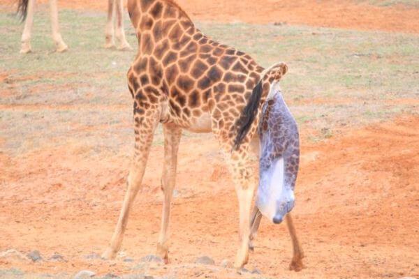 ¿Cómo nacen los bebés de las jirafas?