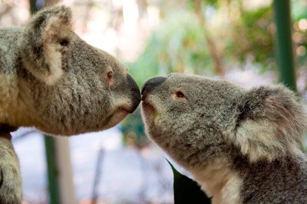 koalas comportamiento