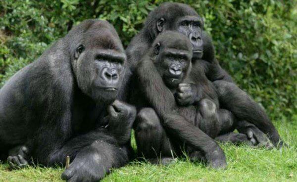 apareamiento gorilas