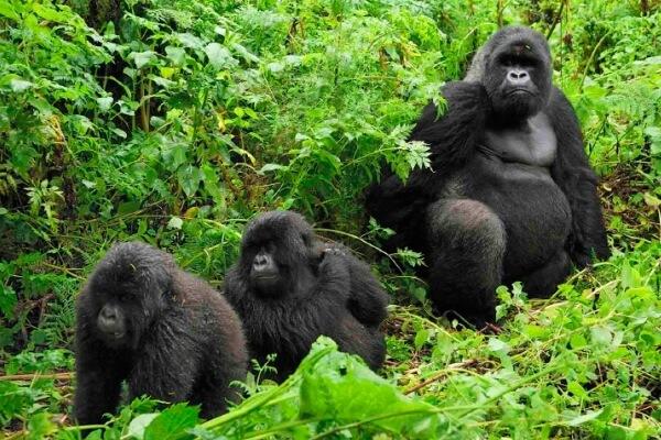 ¿Qué hacen los gorilas?