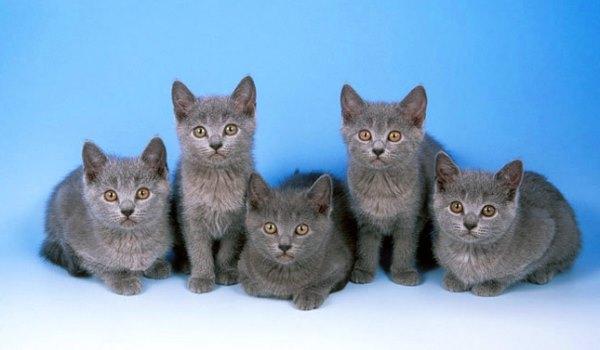 gato chartreux comprar