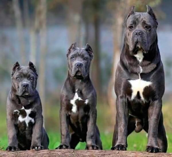 descripción raza de perro cane corso
