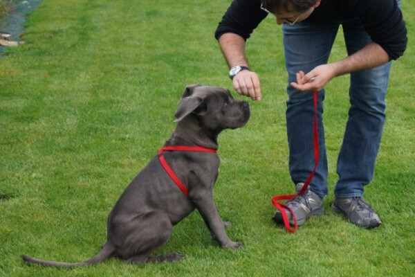 cómo educar a un cane corso