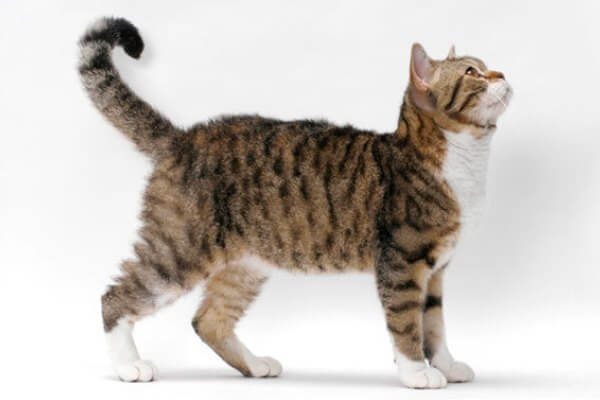 american wirehair aspecto