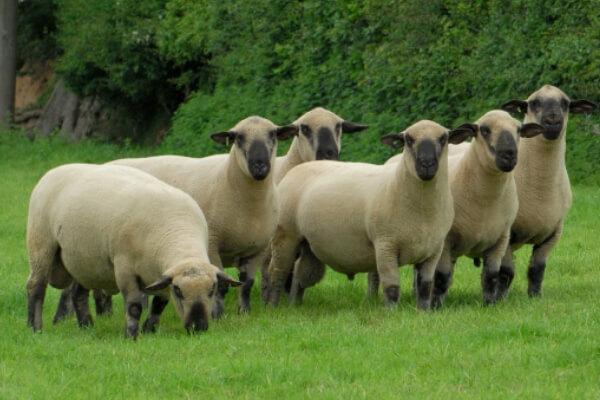 cómo es la oveja Hampshire