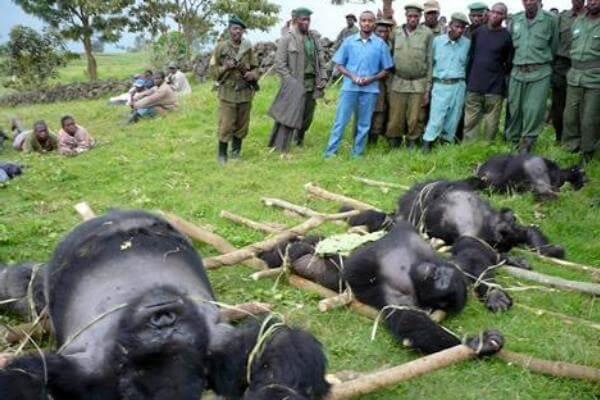 ¿Cuántos ejemplares de gorilas quedan en el mundo?