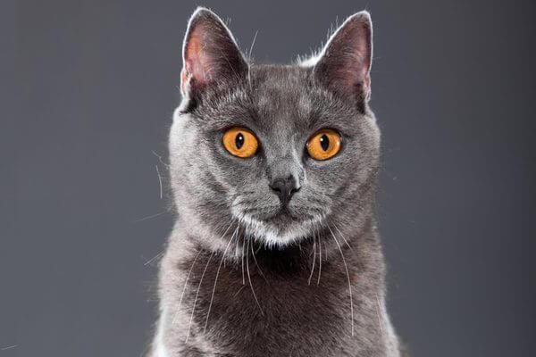 anatomía gato chartreux