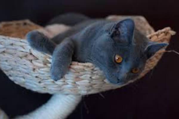 colores gato chartreux