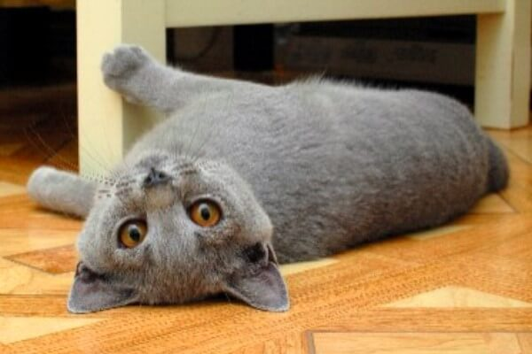 gato chartreux historia