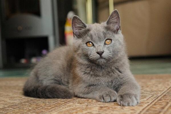 gato chartreux o gato cartujo
