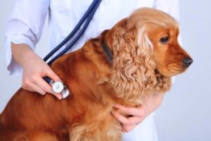 enfermedades raza de perro cocker spaniel inglés