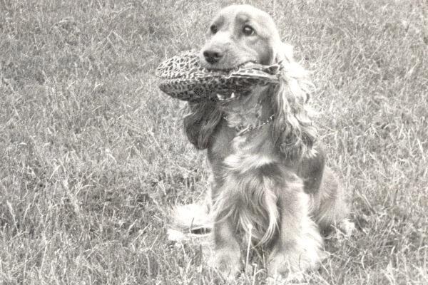 cuál es el origen de la raza de perro cocker spaniel inglés