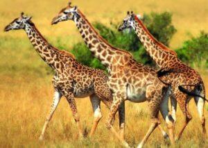 color de pelaje de. jirafa