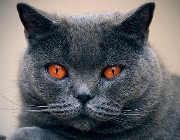 aspecto gato chartreux