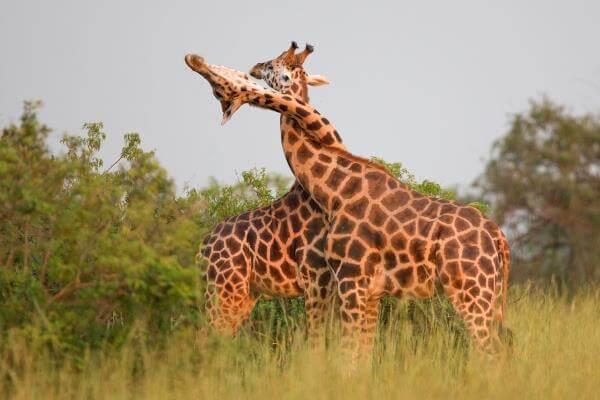 Comportamiento de la jirafa