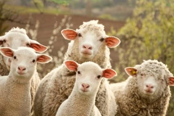 cuántas razas de ovejas hay en América