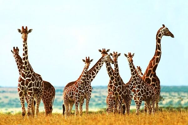 cuánto mide una jirafa adulta