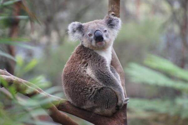 qué pesa un koala