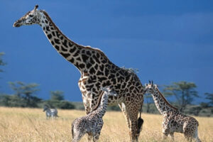 cuánto pesa una jirafa adulta