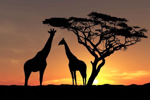 cuanto tiempo vive una jirafa
