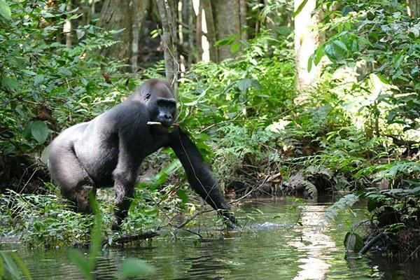 cuánto duran los gorilas