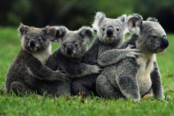 esperanza de vida koalas