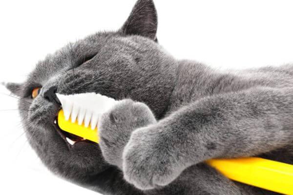 cómo cuidar gato chartreux