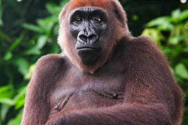 ¿Cuántas especies de gorilas?
