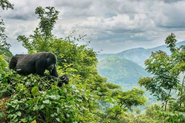¿Dónde se encuentran los gorilas?
