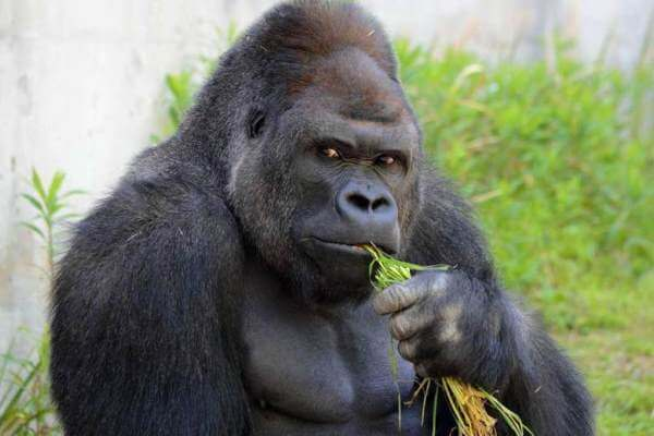 los gorilas son hervivoros