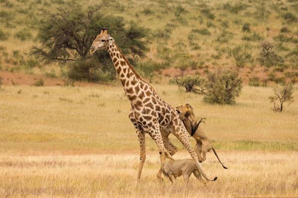 Quién se come a las jirafas?