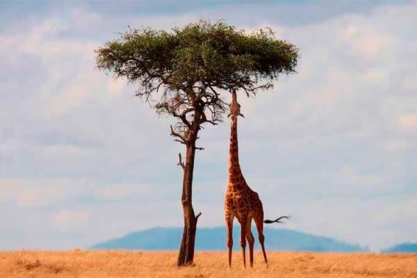 de qué se alimentan las jirafas