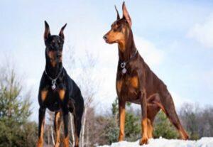 raza de perro dóberman características