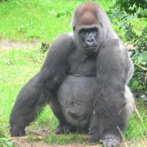 ¿Cuáles son los gorilas?