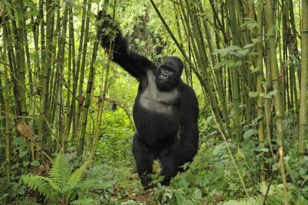 longevidad gorila