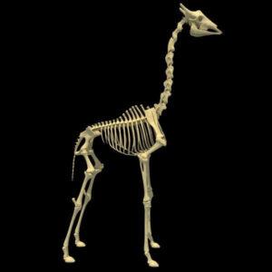partes del esqueleto de una jirafa