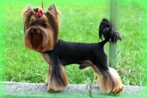 información yorkshire terrier