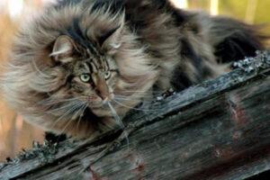 cómo alimentar gato bosque de Noruega