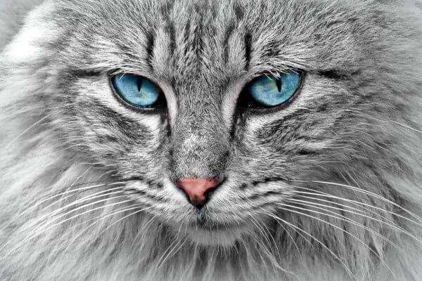gato bosque de Noruega aspecto